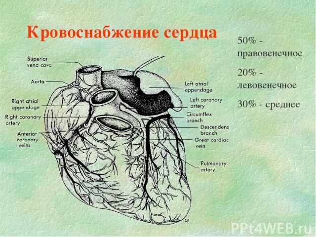 Кровоснабжение сердца 50% - правовенечное 20% - левовенечное 30% - среднее
