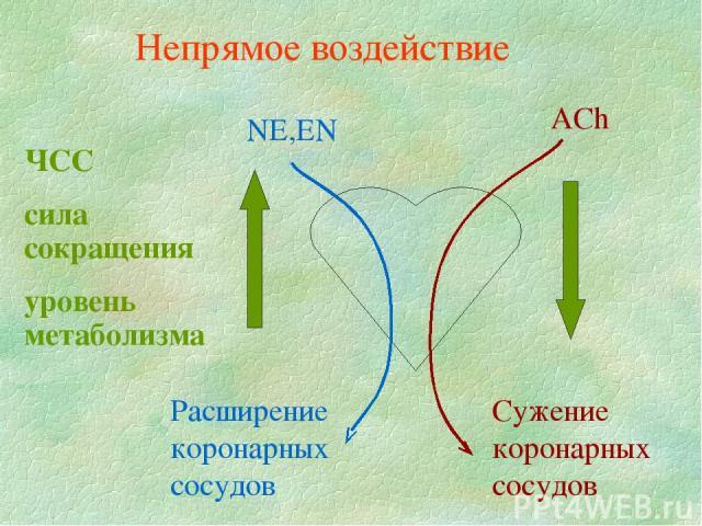 NE,EN ЧСС сила сокращения уровень метаболизма Расширение коронарных сосудов ACh Сужение коронарных сосудов Непрямое воздействие