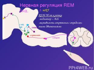 Нервная регуляция REM сна. 1. mRF REM-W-on клетки -медиатор – Ach -активность со