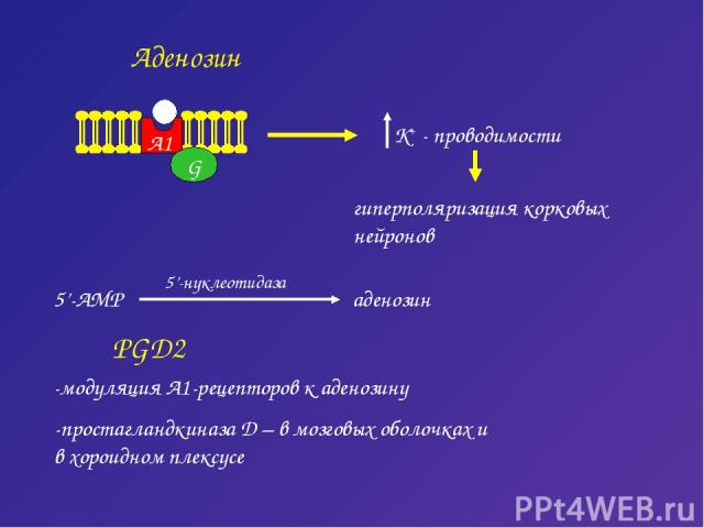 Аденозин G A1 гиперполяризация корковых нейронов PGD2 -модуляция А1-рецепторов к аденозину -простагландкиназа D – в мозговых оболочках и в хороидном плексусе
