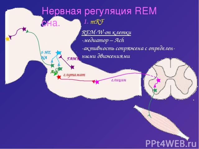 Нервная регуляция REM сна. 1. mRF REM-W-on клетки -медиатор – Ach -активность сопряжена с определен- ными движениями