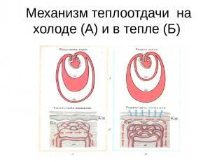 Механизм теплоотдачи на холоде (А) и в тепле (Б)