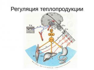 Регуляция теплопродукции