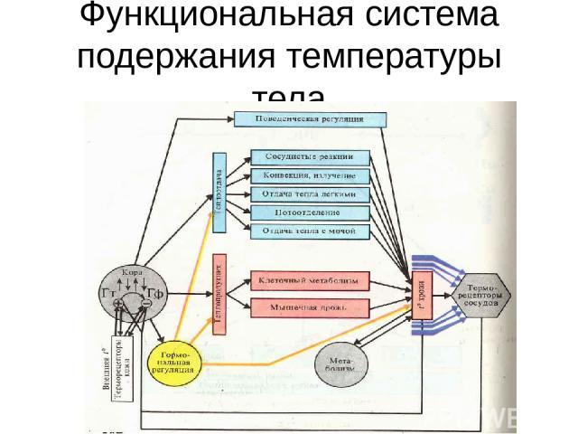 Функциональная система подержания температуры тела