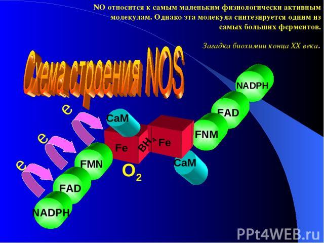 CaM Fe NADPH FAD FNM Fe NO относится к самым маленьким физиологически активным молекулам. Однако эта молекула синтезируется одним из самых больших ферментов. Загадка биохимии конца ХХ века. FMN FAD NADPH e e BH4 CaM e O2