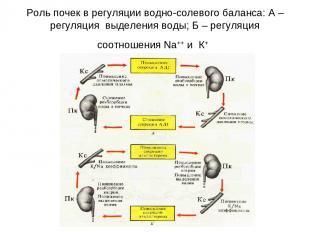 Роль почек в регуляции водно-солевого баланса: А – регуляция выделения воды; Б –