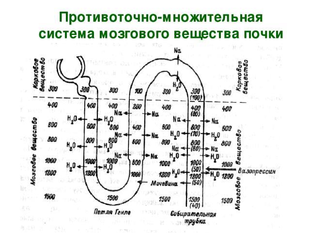 Противоточно-множительная система мозгового вещества почки