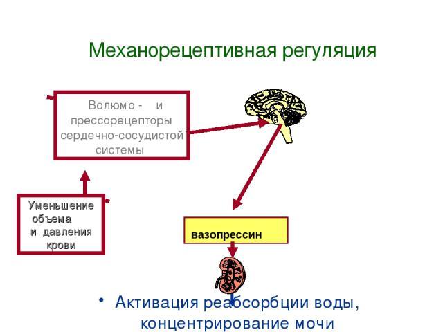 Механорецептивная регуляция Активация реабсорбции воды, концентрирование мочи Уменьшение объема и давления крови Волюмо - и прессорецепторы сердечно-сосудистой системы вазопрессин
