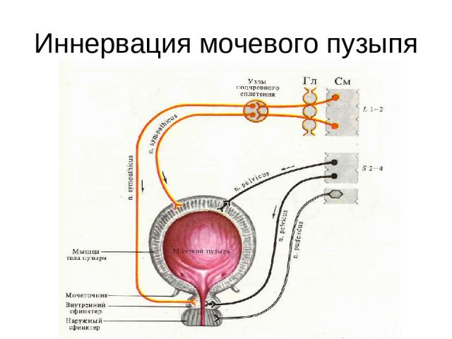 Иннервация мочевого пузыпя