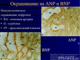 Окрашивание на ANP и BNP Иммунологическое окрашивание нефронов: RA - почечная ар