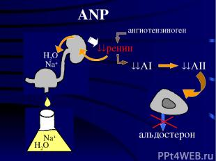 ангиотензиноген ANP AI AII альдостерон H2O Na+ H2O Na+ ренин