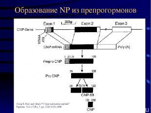 "Образование NP из препрогормонов Craig S. Barr and others ""C-type natriuretic pe"