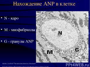 Нахождение ANP в клетке N - ядро М - миофибриллы G - гранулы ANP Adolfo J. de Bo
