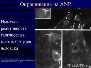 Окрашивание на ANP Иммуно- реактивность ганглиозных клеток СА узла человека Magn