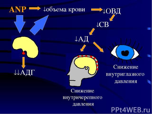Снижение внутричерепного давления Снижение внутриглазного давления ANP АД объема крови ОВД СВ АДГ