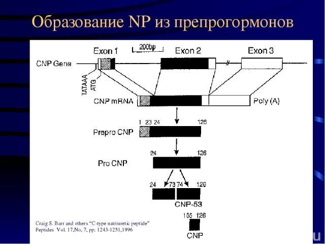 "Образование NP из препрогормонов Craig S. Barr and others ""C-type natriuretic peptide"" Peptides Vol. 17,No, 7, pp. 1243-1251,1996"