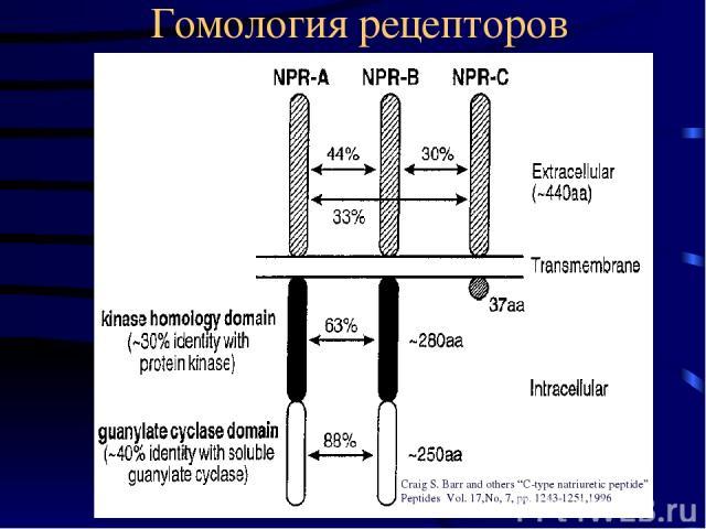 "Гомология рецепторов Craig S. Barr and others ""C-type natriuretic peptide"" Peptides Vol. 17,No, 7, pp. 1243-1251,1996"