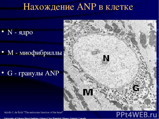 "Нахождение ANP в клетке N - ядро М - миофибриллы G - гранулы ANP Adolfo J. de Bold ""The endocrine function of the heart"" University of Ottawa Heart Institute, Ottawa Civic Hospital, Ottawa, Ontario, Canada"