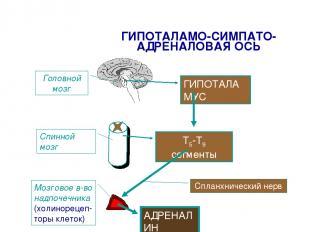 ГИПОТАЛАМО-СИМПАТО-АДРЕНАЛОВАЯ ОСЬ ГИПОТАЛАМУС Т5-Т9 сегменты Спланхнический нер