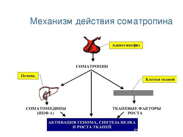 Механизм действия соматропина
