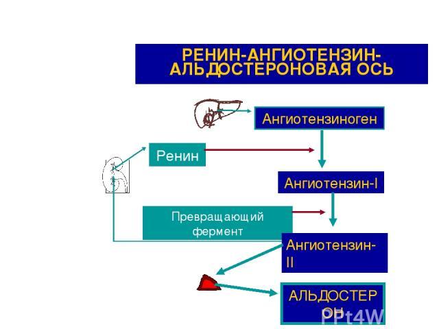 РЕНИН-АНГИОТЕНЗИН-АЛЬДОСТЕРОНОВАЯ ОСЬ Ангиотензиноген Ренин Ангиотензин-I Превращающий фермент Ангиотензин-II АЛЬДОСТЕРОН