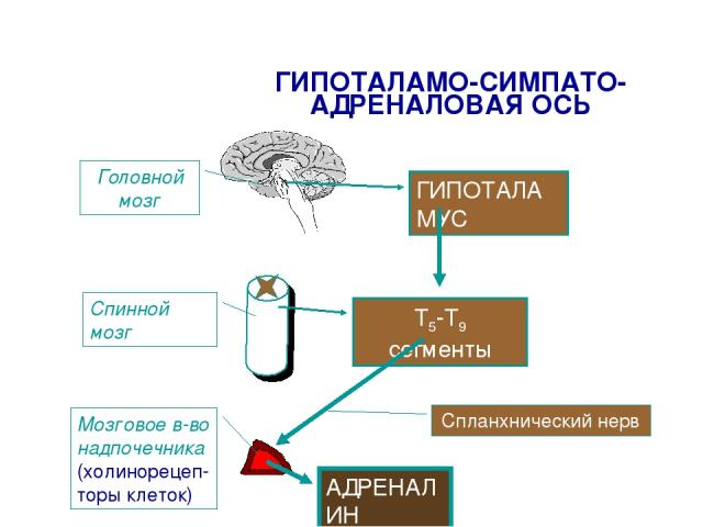 ГИПОТАЛАМО-СИМПАТО-АДРЕНАЛОВАЯ ОСЬ ГИПОТАЛАМУС Т5-Т9 сегменты Спланхнический нерв Головной мозг Спинной мозг Мозговое в-во надпочечника (холинорецеп- торы клеток) АДРЕНАЛИН