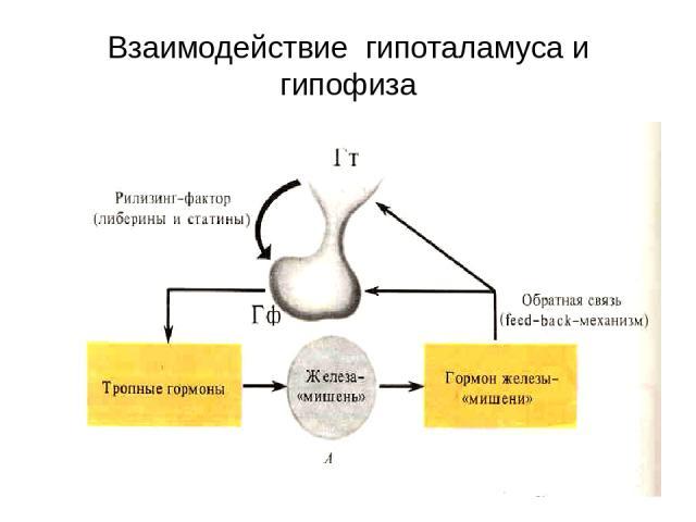 Взаимодействие гипоталамуса и гипофиза