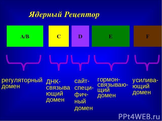 Ядерный Рецептор А/В С D Е F регуляторный домен ДНК-связывающий домен сайт-специ-фич-ный домен гормон-связываю-щий домен усилива-ющий домен