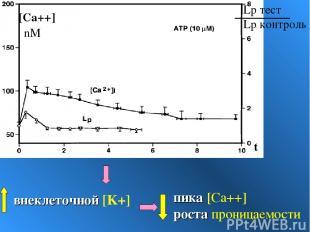 внеклеточной [K+] пика [Ca++] роста проницаемости