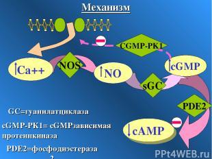 sGC PDE2 NOS CGMP-PK1 cGMP-PК1= сGMPзависимая протеинкиназа GC=гуанилатциклаза P