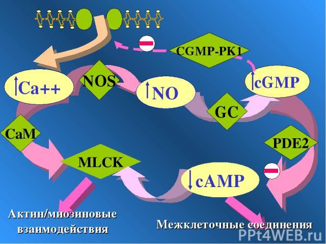 GC PDE2 MLCK Межклеточные соединения Актин/миозиновые взаимодействия NOS CaM CGMP-PK1
