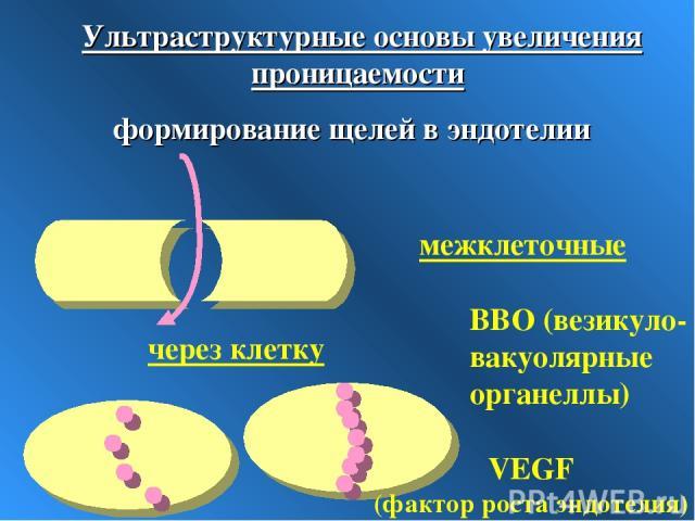 Ультраструктурные основы увеличения проницаемости формирование щелей в эндотелии межклеточные через клетку ВВО (везикуло-вакуолярные органеллы) VEGF (фактор роста эндотелия)