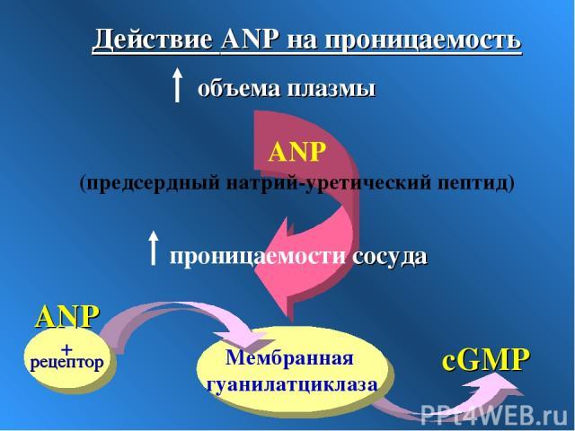 Мембранная гуанилатциклаза ANP + cGMP ANP (предсердный натрий-уретический пептид) Действие ANP на проницаемость