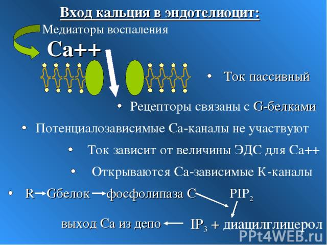 Са++ Потенциалозависимые Са-каналы не участвуют Открываются Са-зависимые К-каналы Ток зависит от величины ЭДС для Са++ Медиаторы воспаления Ток пассивный Рецепторы связаны с G-белками Вход кальция в эндотелиоцит: Gбелок R фосфолипаза С PIP2 IP3 + ди…