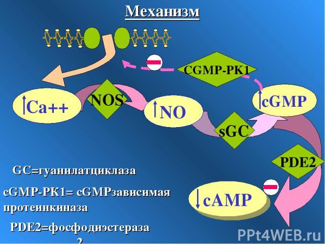 sGC PDE2 NOS CGMP-PK1 cGMP-PК1= сGMPзависимая протеинкиназа GC=гуанилатциклаза PDE2=фосфодиэстераза2 Механизм
