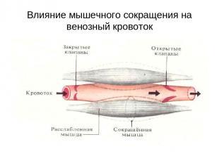 Влияние мышечного сокращения на венозный кровоток