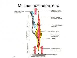 Мышечное веретено