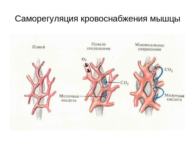 Саморегуляция кровоснабжения мышцы