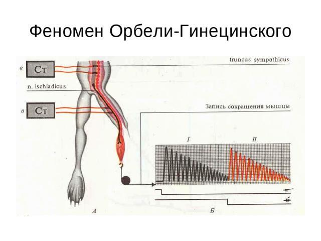 Феномен Орбели-Гинецинского