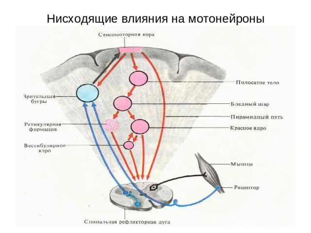 Нисходящие влияния на мотонейроны