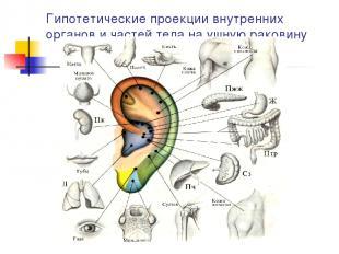 Гипотетические проекции внутренних органов и частей тела на ушную раковину