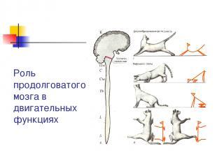 Роль продолговатого мозга в двигательных функциях