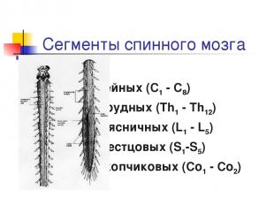 Сегменты спинного мозга 8 шейных (C1 - C8) 12 грудных (Th1 - Th12) 5 поясничных