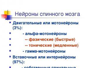 Нейроны спинного мозга Двигательные или мотонейроны (3%): - альфа-мотонейроны --