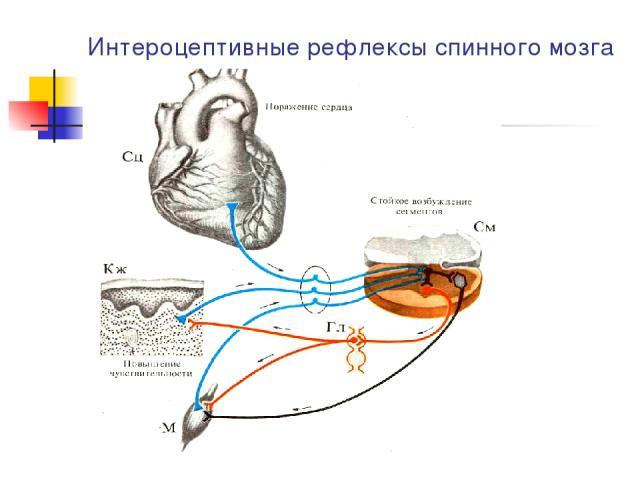 Интероцептивные рефлексы спинного мозга