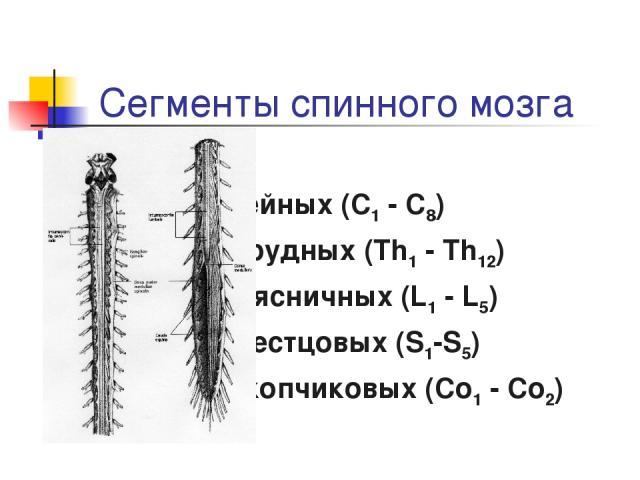 Сегменты спинного мозга 8 шейных (C1 - C8) 12 грудных (Th1 - Th12) 5 поясничных (L1 - L5) 5 крестцовых (S1-S5) 1-3 копчиковых (Co1 - Co2)