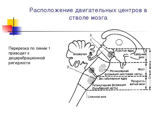 Расположение двигательных центров в стволе мозга Перерезка по линии 1 приводит к децеребрационной ригидности