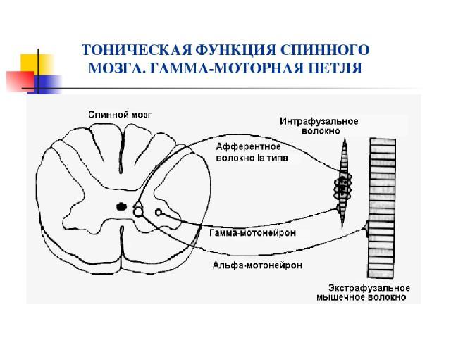 ТОНИЧЕСКАЯ ФУНКЦИЯ СПИННОГО МОЗГА. ГАММА-МОТОРНАЯ ПЕТЛЯ