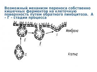 Возможный механизм переноса собственно кишечных ферментов на клеточную поверхнос