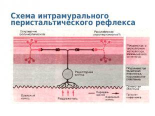 Схема интрамурального перистальтического рефлекса
